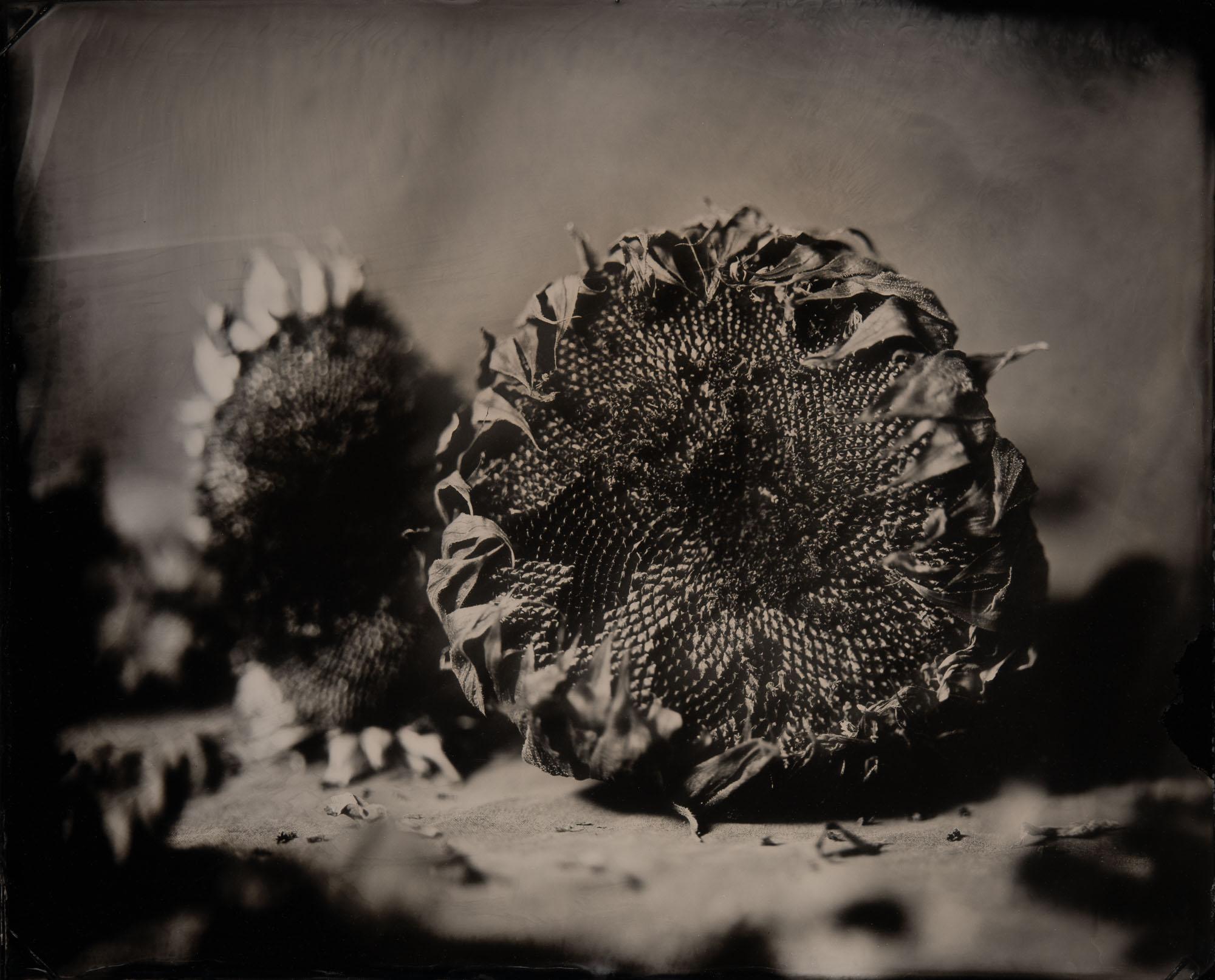 2 Cut Sunflowers